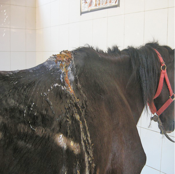 fistulous withers on a horse, probably caused by a poorly fitting rug